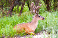 Black Tail Mule Deer Buck