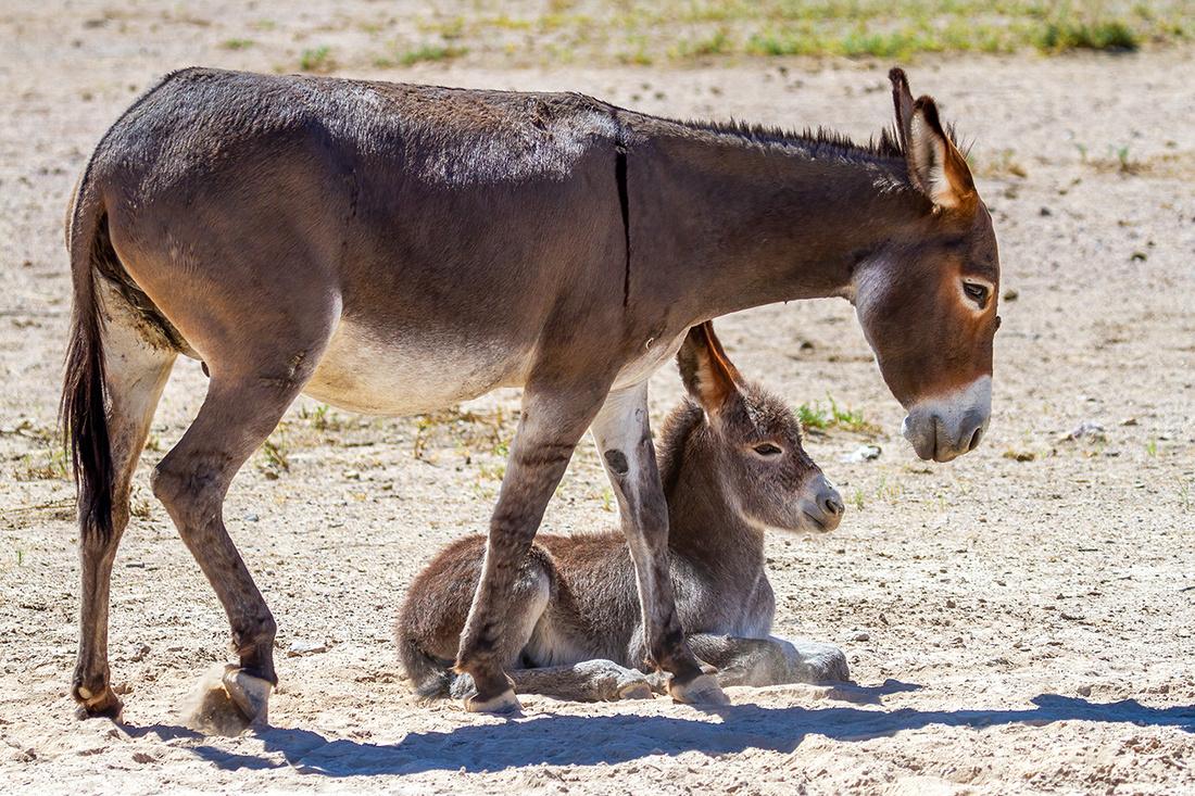 Female Burro and Foal