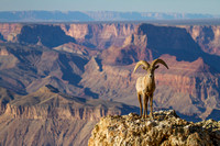 Big Horn Sheep Photography by James Marvin Phelps
